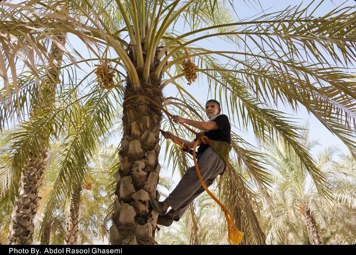 برداشت رطب در بوشهر