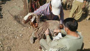 واکسیناسیون دامهای عشایر دشتی