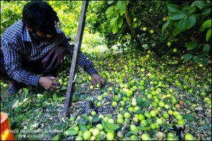 برداشت لیمو ترش دشتی